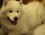 20120412 Samoyed no mud