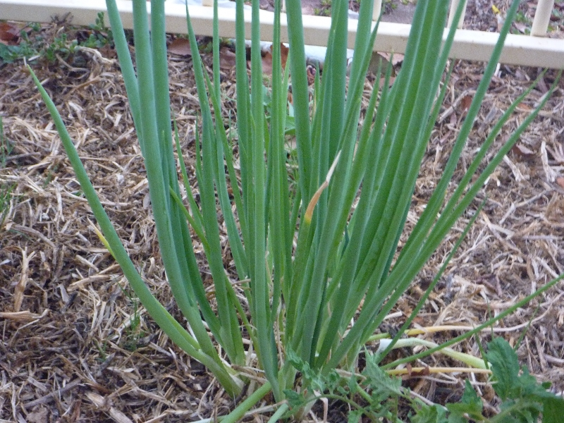20120125 spring onions