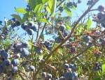 20120122 blueberries
